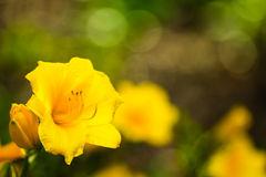 Fleur emblématique Lac-aux-Sables